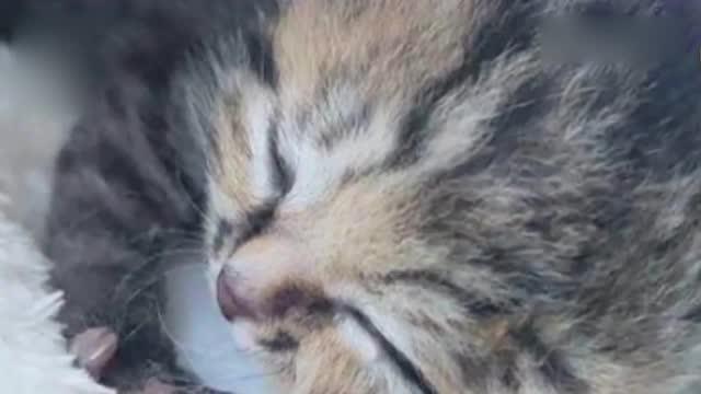 南非惊现双脸小猫 竟长了三只眼睛两个鼻子两张嘴!