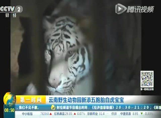 白虎喜欢被老公干屁眼视频_云南野生动物园新添五胞胎白虎宝宝