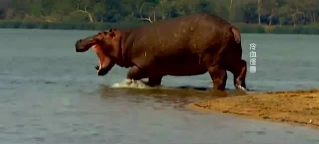 河马看不惯鳄鱼的疯狂杀戮,下来一幕让在场鳄鱼都气愤