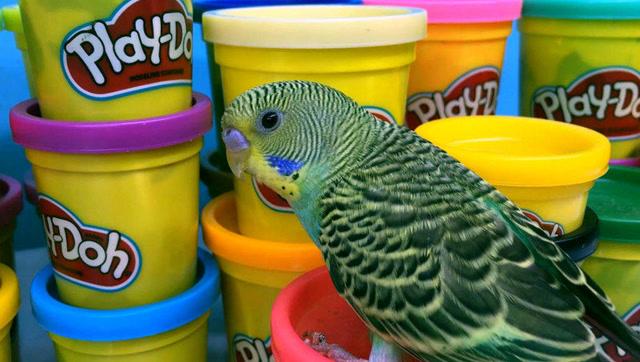 培乐多彩泥手工制作饼干给鹦鹉当玩具玩