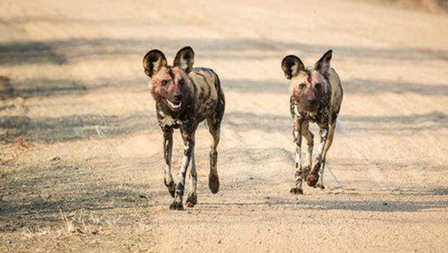 野狗大战鳄鱼,水陆两栖动物最激烈的较量
