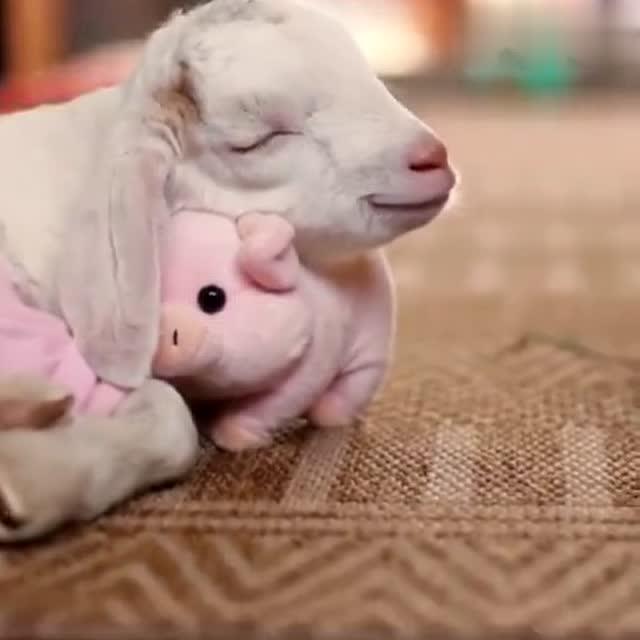 救助站的小羊最喜欢这只小猪布偶,每次睡觉都要抱着,满脸幸福