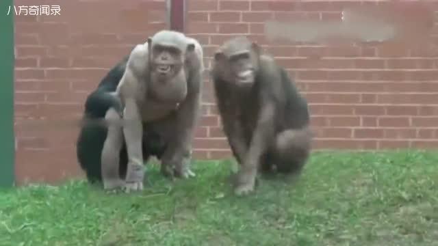 国外动物园惊现无毛大猩猩,长相怪异奇葩 游客吓懵了