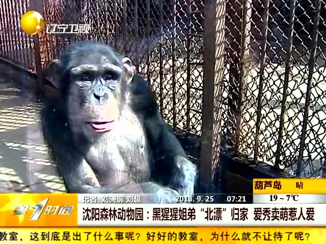 沈阳森林动物园:黑猩猩姐弟北漂归家 爱秀卖萌惹人爱