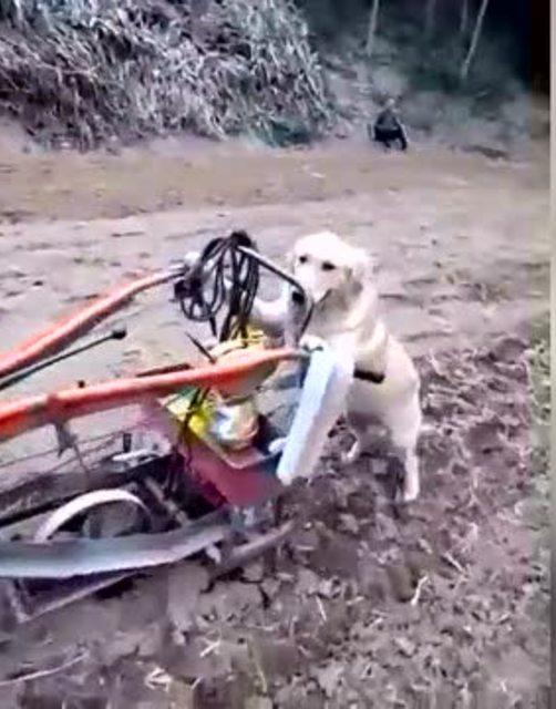 哮天犬开拖拉机干农活,堪比蓝翔驾校!图片