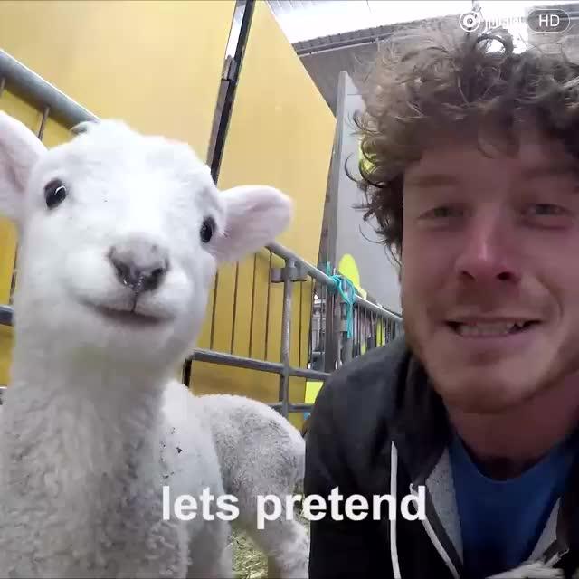 超可爱的小羊羔图片
