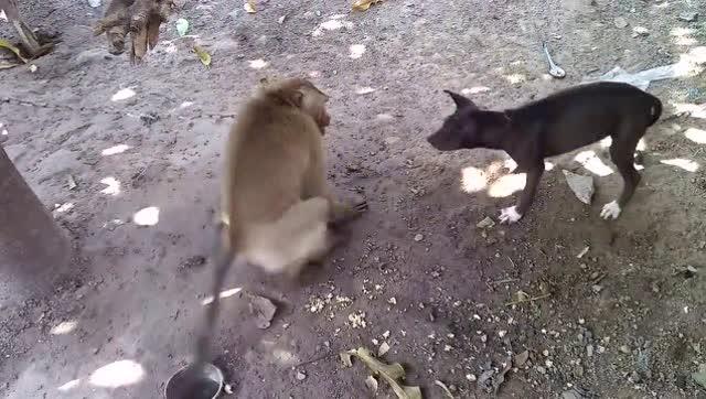 猴子和狗打架,好贱的猴子敢调戏哮天犬!图片