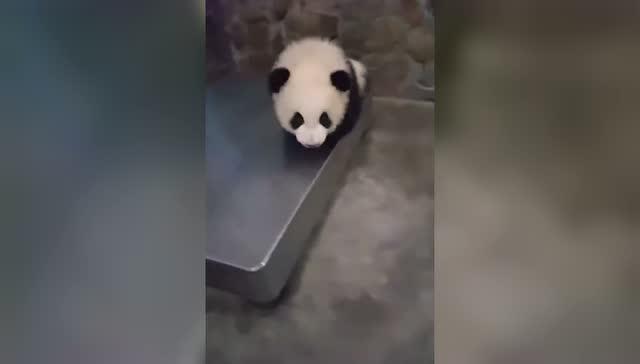 熊猫:你瞅啥?再瞅一个试试!图片