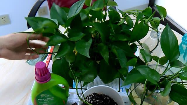 绿萝扦插土培的方法,新手轻轻松松掌握