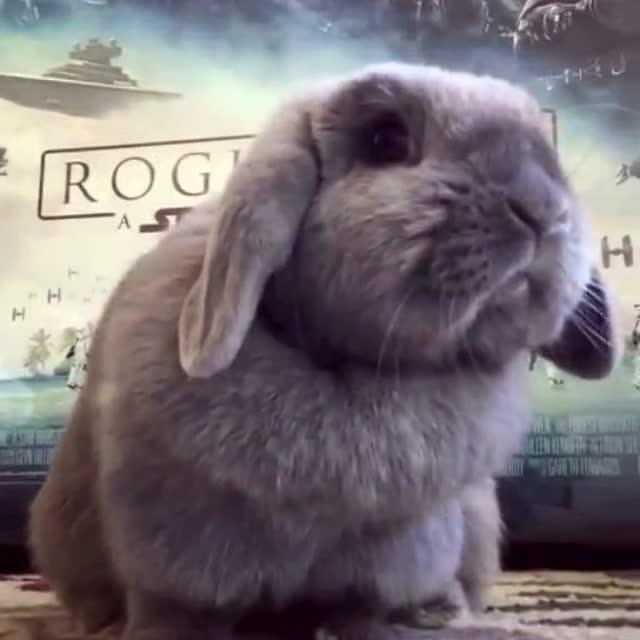 家有萌宠之可爱的胖兔子