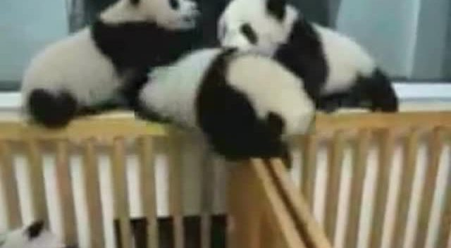 萌翻 超可爱 打架的熊猫宝宝 - 生活 - 3023视频 - .