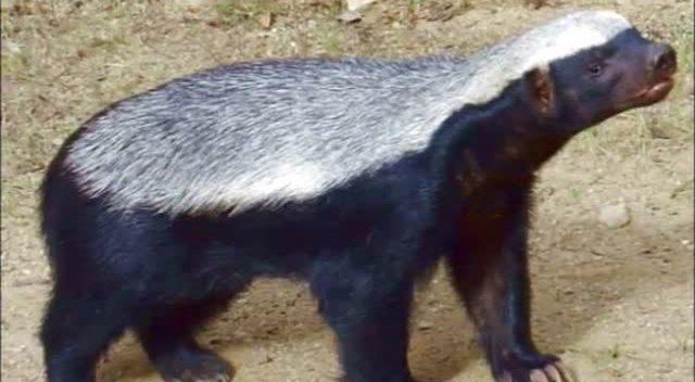 世界上最凶猛哺乳动物竟是蜜獾