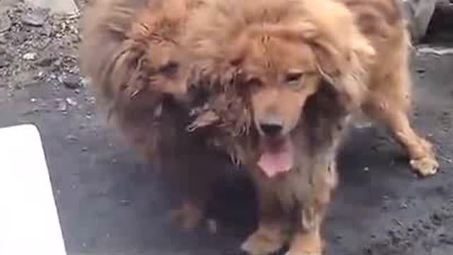 藏獒vs狮子_霸气十足藏獒和高大威猛的狮子打架视频