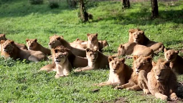动物园里的狮子能爬树