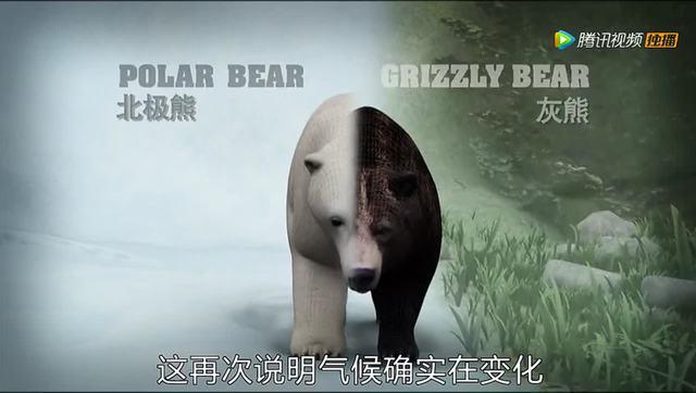 一部人和熊性交的电影_全球变暖造就更多杂交动物:灰熊与北极熊交配