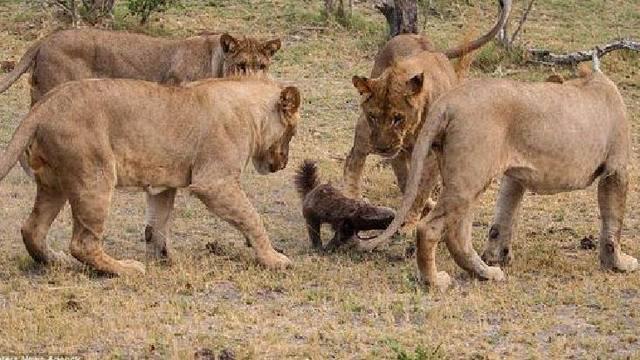 壁纸 动物 狮子 桌面 640_360