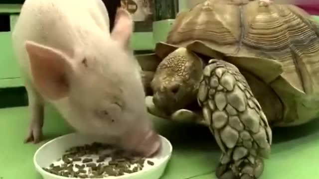 宠物猪吃饭,陆龟来分一杯羹,险些被爆头