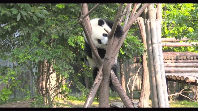 大熊猫爬树玩耍