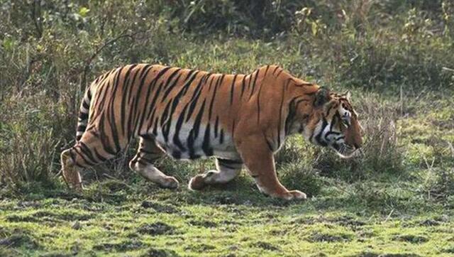 野生老虎猎杀一只头巨大野猪,生死搏斗的精彩视频!