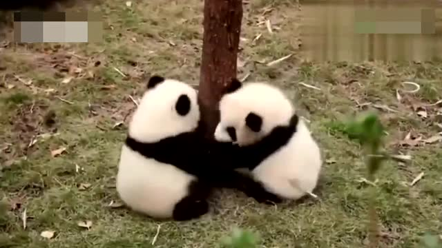 小熊猫可爱集锦,真羡慕饲养员