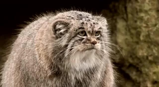 猫科动物中长相最奇特的,名字却叫兔狲,还会捉老鼠