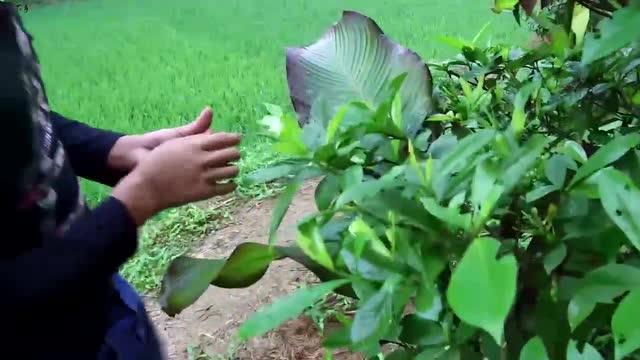 三农:农村小伙到山里摘这种果,拿回家泡茶喝夏天不中暑!