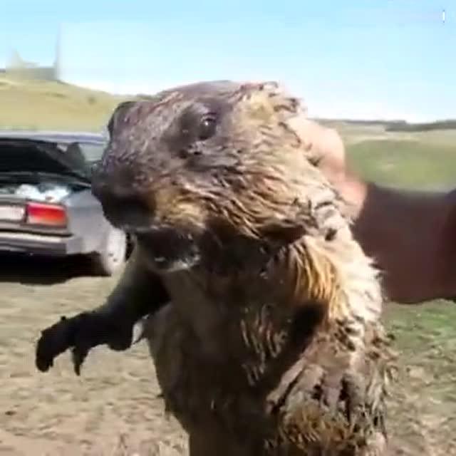 土拨鼠被人抓住表情超惊恐图片
