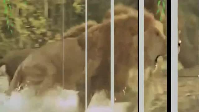 太霸气了,小老虎一声怒吼吓退三头雄狮