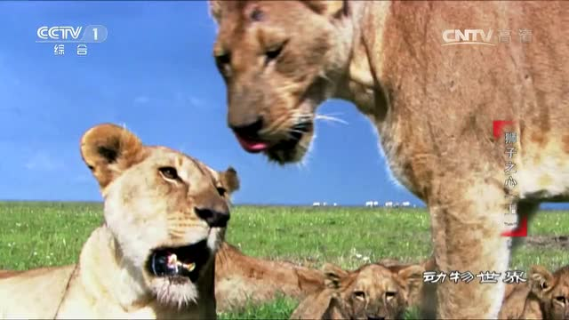动物世界 狮子捕食角马
