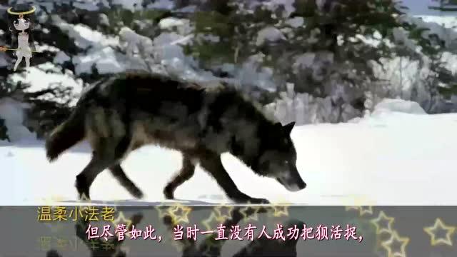 人们常说狼狈为奸,狼大家都知道,你知道狈是一种什么神秘动物吗