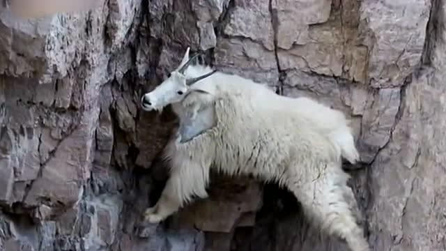 世界各地的山羊攀爬高手 有羊上树 还有羊上悬崖