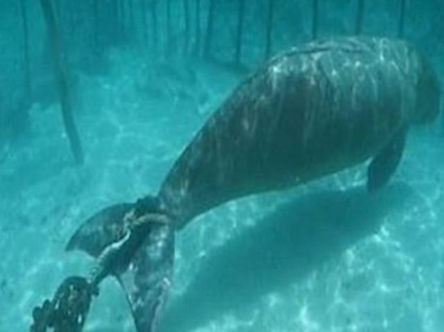 潜水员在海底发现奇怪的生物,没想到是被关的海牛