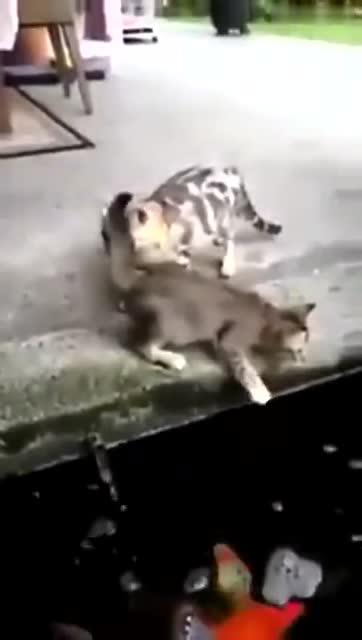 实拍大鱼跃出水面吞吃小猫?鱼竟然会吃猫?