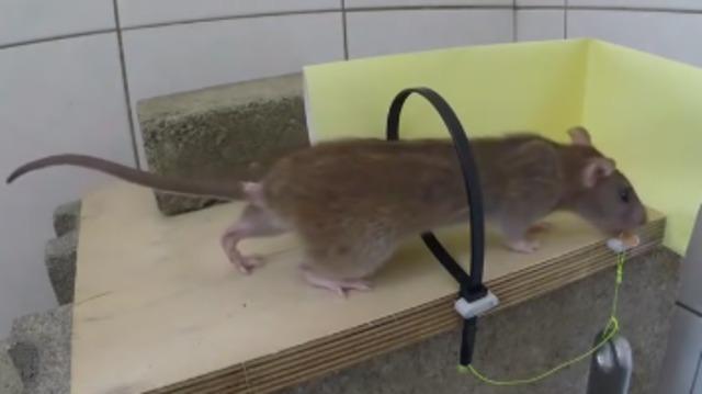 梦见老鼠偷吃家里粮食