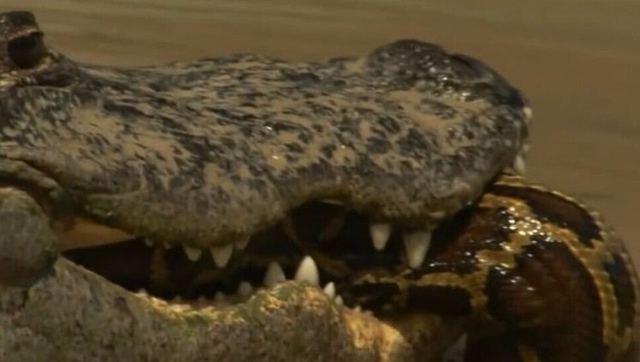 鳄鱼吞食小蟒蛇遭大蟒蛇报复 - 纪录片 - 3023视频