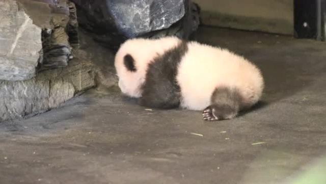"""比利时天堂动物园的大熊猫宝宝迈出了""""熊生""""第一步"""