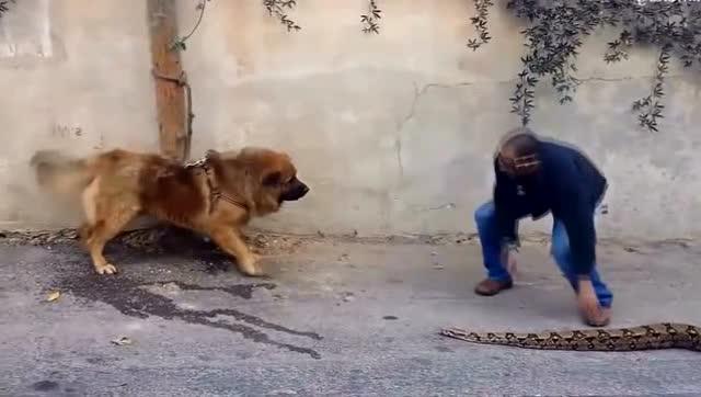 狼狗要咬男子,但男子拿出条大蟒蛇,狼狗顿时都不敢叫了