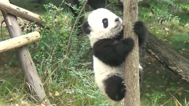 熊猫宝宝演示爬树 ,笑翻了!