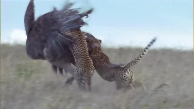 动物世界:猎豹和鸵鸟赛跑,另一只鸵鸟惨死