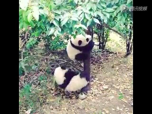 实拍两只超萌熊猫宝宝学爬树