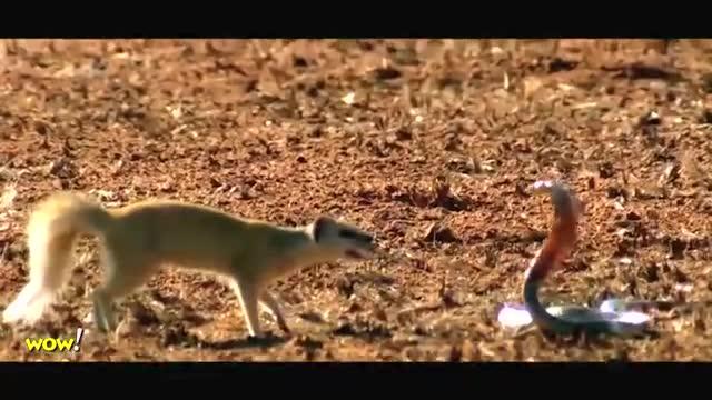 经典动物战争,蜜罐被眼镜蛇咬到毒发身亡,鹰袭击偷走食物的狐狸