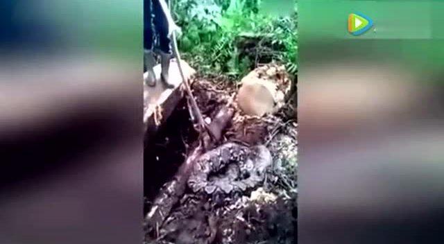 挖土机挖到一半意外捕获的活宝:犰狳vs大蟒蛇