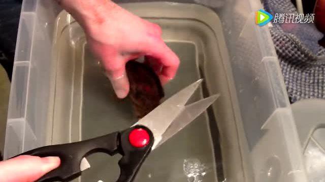 竹鲨鱼的孵化竟然是从蛋剪切出生的 第一次知道