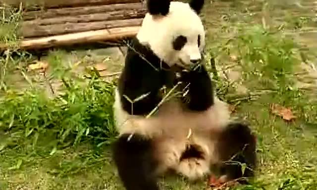 大熊猫津津有味地吃竹子,野生动物园近距拍的