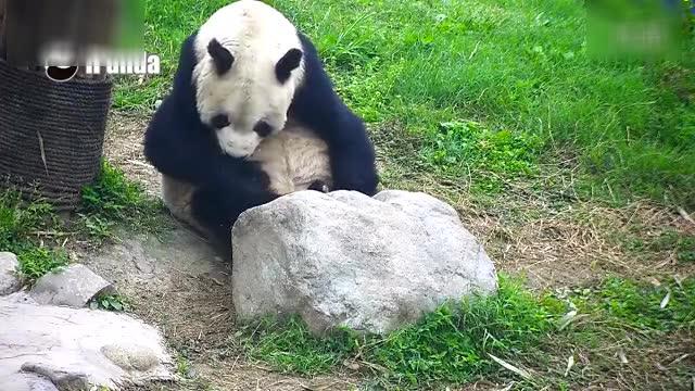 超级可爱!慵懒的熊猫盼盼