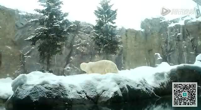 冬之北海道-北极熊(旭川动物园)