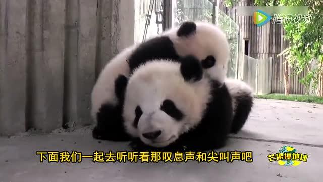 熊猫爸爸被一窝小熊猫围殴,难道忘带零食了
