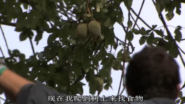 贝爷在非洲烤鲶鱼吃猴面包树果实