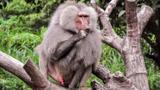 狒狒首领猎杀胡狼幼崽,残忍程度动物界第一