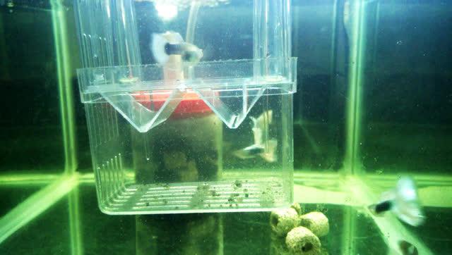 孔雀鱼生小鱼时候正确的处理方法
